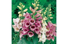 DIGITALIS PURPUREA FOXY FOXGLOVE SEEDS - MIXED COLOURS - 500 SEEDS