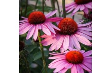 ECHINACEA PURPUREA SEEDS - PURPLE CONEFLOWER - 100 SEEDS