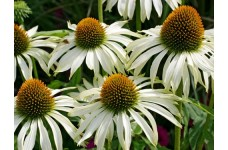 ECHINACEA PURPUREA WHITE SWAN SEEDS - WHITE CONEFLOWER - 100 SEEDS