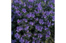ECHIUM VULGARE BLUE BEDDER SEEDS - BLUE BELL SHAPED FLOWERS - 100 SEEDS