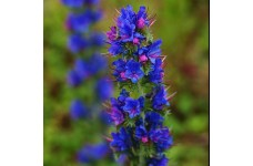 ECHIUM VULGARE - VIPERS BUGLOSS SEEDS - BLUE CONICAL FLOWERS - 100 SEEDS