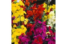 ERYSIMUM CHEIRI ENGLISH BEDDING MIX SEEDS - ENGLISH WALLFLOWER - 150 SEEDS