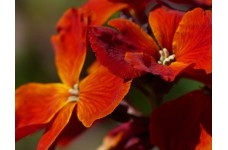 ERYSIMUM CHEIRI - FIRE KING SEEDS - ORANGE ENGLISH WALLFLOWER - 150 SEEDS