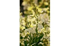 ERYSIMUM CHEIRI - IVORY WHITE SEEDS - WHITE ENGLISH WALLFLOWER - 150 SEEDS