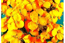 ERYSIMUM CHEIRI - CLOTH OF GOLD - WALLFLOWER - 150 SEEDS