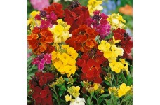 ERYSIMUM CHEIRI - CROWN MIXED - DWARF BEDDING WALLFLOWER  - 150 SEEDS