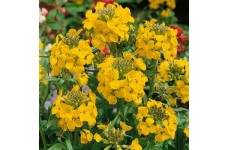 ERYSIMUM CHEIRI - GOLDEN - DWARF BEDDING WALLFLOWER  - 150 SEEDS