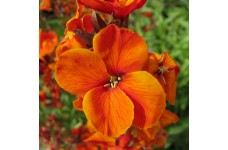 ERYSIMUM CHEIRI ORANGE BEDDER WALLFLOWER SEEDS - DWARF BEDDING - 150 SEEDS