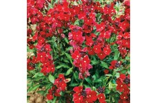 ERYSIMUM CHEIRI SCARLET BEDDER WALLFLOWER SEEDS - DWARF BEDDING - 150 SEEDS