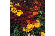 ERYSIMUM CHEIRI WALLFLOWER TOM THUMB MIX SEEDS - DWARF BEDDING - 150 SEEDS