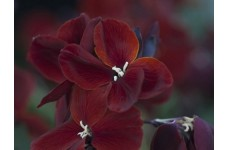 ERYSIMUM CHEIRI VULCAN WALLFLOWER SEEDS - DEEP CRIMSON BEDDING - 150 SEEDS
