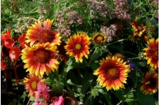 GAILLARDIA ARISTATA GRANDIFLORA MIXED SEEDS - BLANKET FLOWER - 100 SEEDS