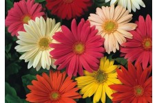 GERBERA JAMESONII HYBRID MIX SEEDS - 25 SEEDS