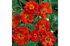 GEUM MRS BRADSHAW SEEDS - SCARLET RED FLOWERS - 100 SEEDS
