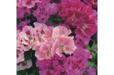 GODETIA CROWN DOUBLE MIX SEEDS - MIXED COLOUR FLOWERS - 500 SEEDS