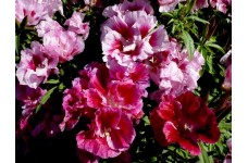 GODETIA WHITNEYI AZALEA DOUBLE MIXED - CLARKIA AMOENA - 500 SEEDS