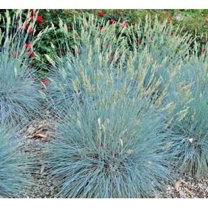 BLUE FESCUE / FESTUCA GLAUCA / ELIJAH BLUE ORNAMENTAL GRASS SEEDS - 100 SEEDS