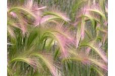 HORDEUM JUBATUM SEEDS - SQUIRREL GRASS / FOXTAIL BARLEY ORNAMENTAL GRASS SEEDS - 100 SEEDS