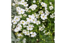 GYPSOPHILA ELEGANS COVENT GARDEN SEEDS - WHITE SINGLE FLOWER GYPSOPHILIA - 500 SEEDS