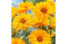 HELIOPSIS HELIANTHOIDES SUMMER SUN - LARGE GOLDEN YELLOW FLOWERS - 50 SEEDS