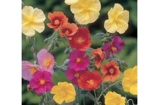 HELIANTHEMUM CROWN MIXED SEEDS - MIXED COLOUR ROCK ROSE - 100 SEEDS