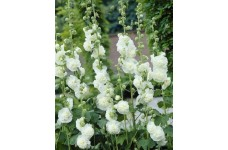HOLLYHOCK CHATERS DOUBLE WHITE - ALCEA ROSEA - 50 SEEDS