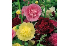 HOLLYHOCK CHATERS DOUBLE SEEDS - ALCEA ROSEA  - MIXED COLOUR - 50 SEEDS