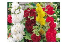 HOLLYHOCK SUMMER CARNIVAL MIXED SEEDS - 50 SEEDS