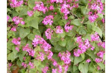 HONESTY LUNARIA ANNUA SEEDS - 100 SEEDS