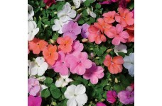IMPATIENS WALLERIANA - BUSY LIZZIE DWARF MIX - 100 SEEDS