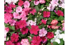 IMPATIENS WALLERIANA - BUSY LIZZIE DWARF BABY SERIES MIX - 100 SEEDS