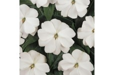 IMPATIENS WALLERIANA DWARF BABY WHITE SEEDS - WHITE BUSY LIZZIE - 100 SEEDS