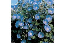 IPOMOEA MORNING GLORY - CLARKS HEAVENLY BLUE - CLIMBER - 50 SEEDS