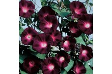 IPOMOEA MORNING GLORY BLACK KNIGHT SEEDS - DARK PURPLE FLOWERS - 50 SEEDS