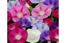 IPOMOEA MORNING GLORY FLYING SAUCER MIX SEEDS - MIXED COLOUR STRIPED FLOWERS - 50 SEEDS