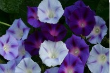 IPOMOEA MORNING GLORY MIX SEEDS - PURPLE, BLUE & WHITE FLOWERS - 50 SEEDS