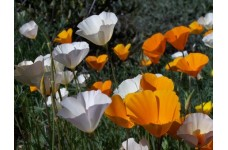 CALIFORNIA POPPY SINGLE MIX SEEDS - ESCHSCHOLTZIA CALIFORNICA - 500 SEEDS