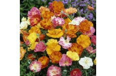 CALIFORNIA POPPY BALLERINA MIX COLOUR - ESCHSCHOLTZIA CALIFORNICA - 500 SEEDS
