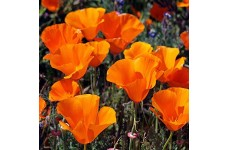 CALIFORNIA POPPY GOLDEN WEST SEEDS - ESCHSCHOLTZIA CALIFORNICA - 500 SEEDS