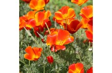 CALIFORNIA POPPY MIKADO SEEDS - ESCHSCHOLTZIA CALIFORNICA - 500 SEEDS