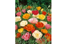 CALIFORNIA POPPY MISSION BELLS - ESCHSCHOLTZIA CALIFORNICA - 500 SEEDS