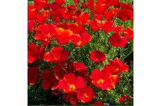 CALIFORNIA POPPY RED CHIEF SEEDS - ESCHSCHOLTZIA CALIFORNICA - 500 SEEDS