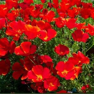 CALIFORNIA POPPY RED CHIEF SEEDS - ESCHSCHOLTZIA CALIFORNICA - 500 SEEDS