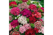 DIANTHUS BARBATUS SEEDS - SWEET WILLIAM INDIAN CARPET MIX SEEDS - 500 SEEDS